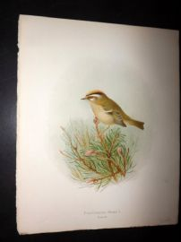 Butler, Frohawk & Gronvold 1908 Antique Bird Print. Fire Crested Wren 23